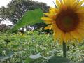 zonnebloemen Oal Eer-foto-Jan-Groenewegen